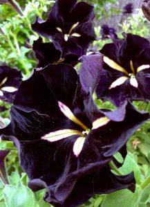Black velvet 2w